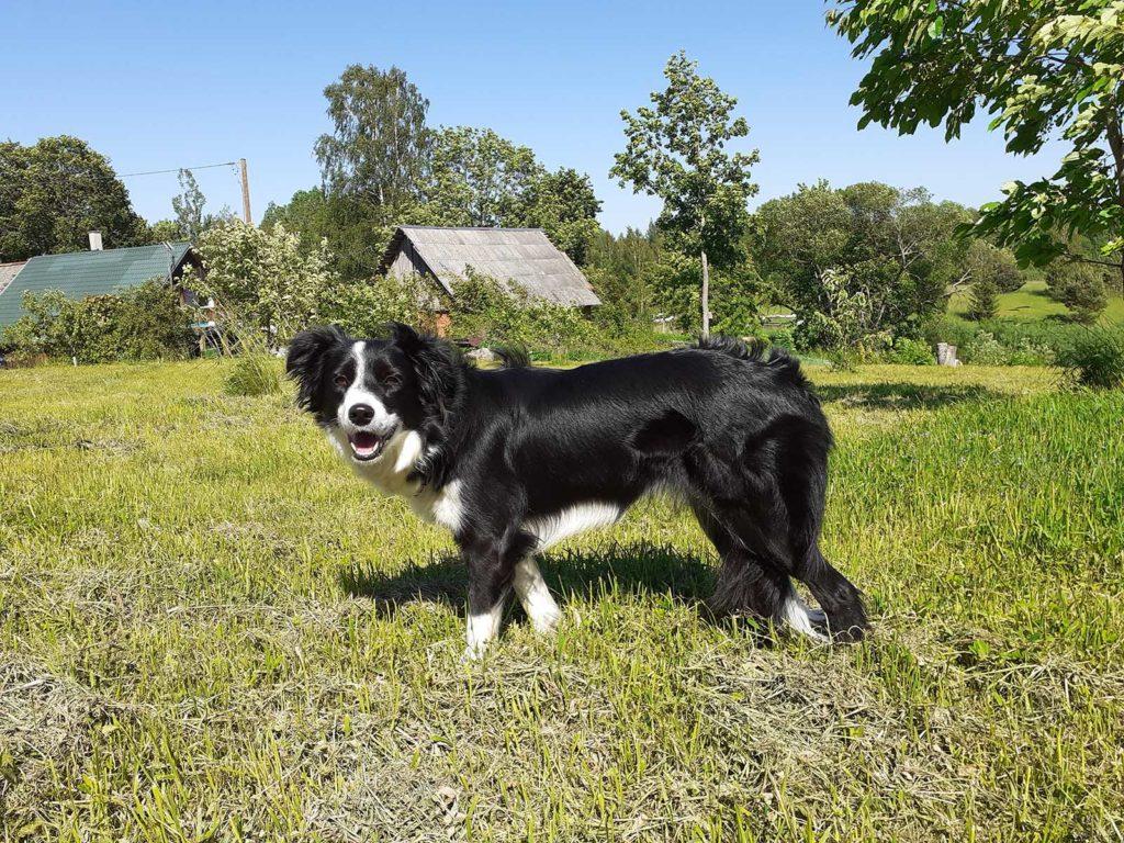 Karjakoer Bordercollie Kullaaugu talus - OÜ Möög