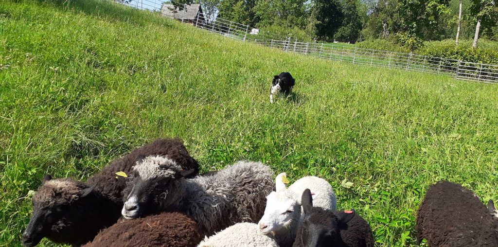 Karjakoer bordercollie karja ajamas