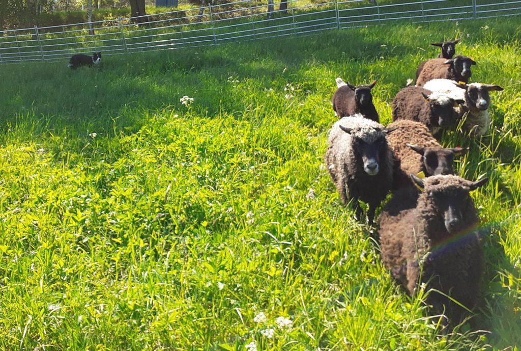 Karjakoer ja karjatamise õpetamine