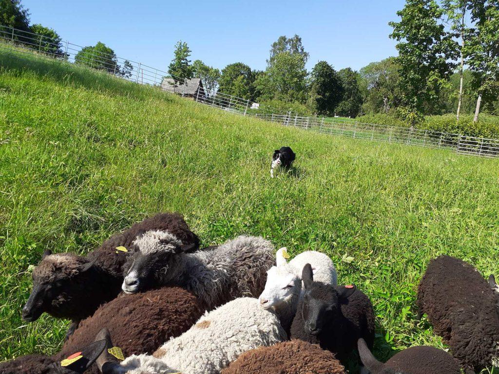 Karjakoer karja ajamas