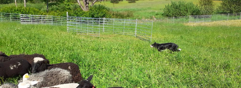 Karjatamine ja karjakoerad