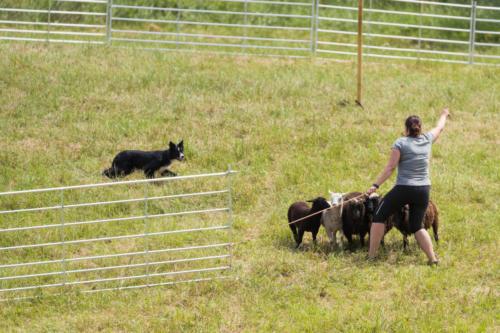 Stefi Praakli ajab koeraga Ettie lambaid aedikusse
